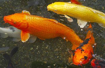 Kois im Aquarium