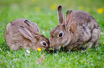 kaninchen-european-rabbits