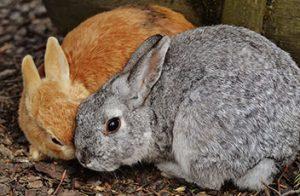 kaninchen-rabbit-zwei